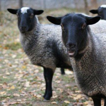 Выращивание овец романовской породы