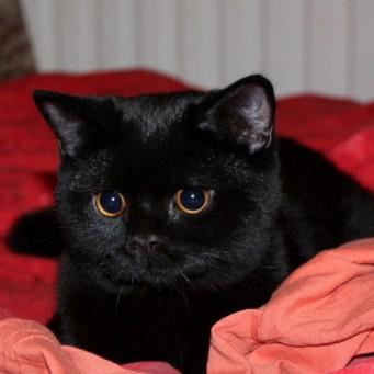 Какой породы чёрные коты