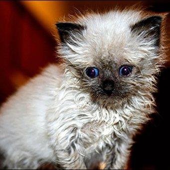 Кот не может мочиться. причина