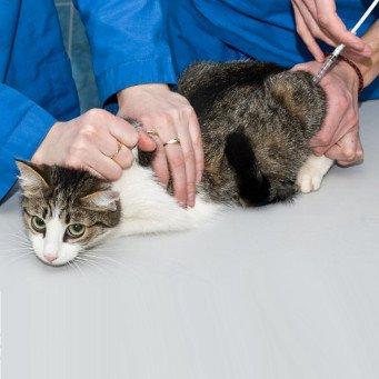 Коту колоть глюкозу