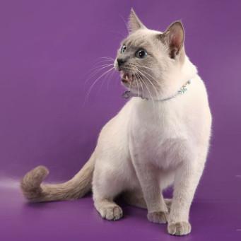 Вязка с тайским котом