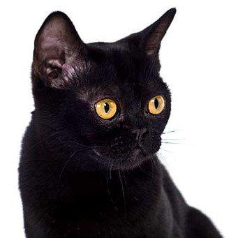 Черный кот порода с фото