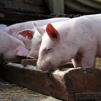 Сделать корыто для свиней своими руками