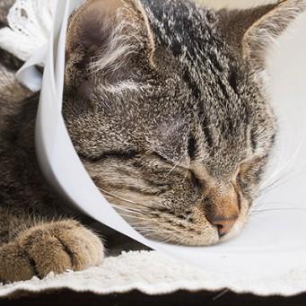 Когда после кастрации кота можно помыть