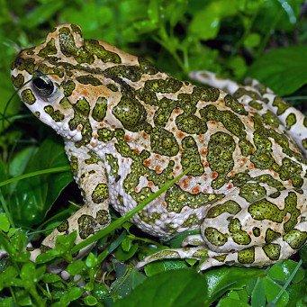 Ядовитая жаба жительница болот