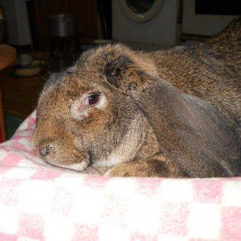 Беременность кроликов декоративных