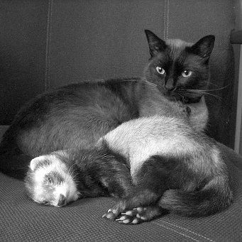 Знакомство Кошки С Хорьком