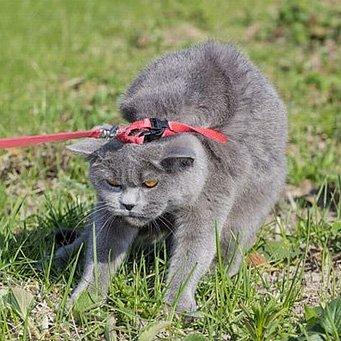 С какого возраста можно сводить кошку с котом