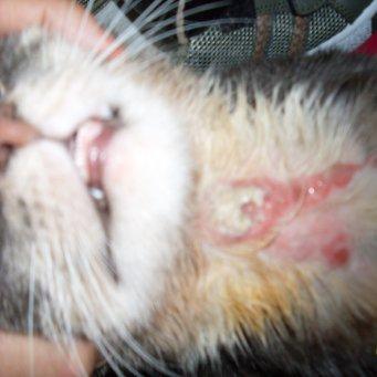 Как лечить коросты у кота