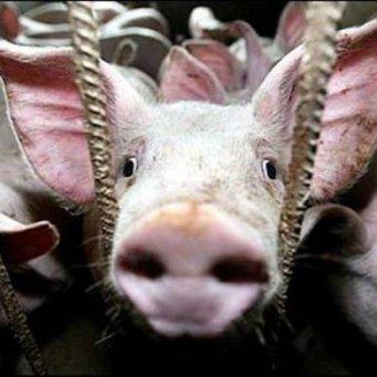 укол свиньям против глистов