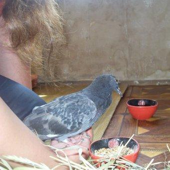 Кормить голубя домашних условиях 99