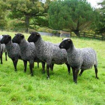 не ягнившаяся овца