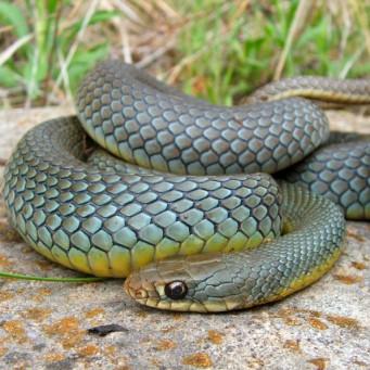 жёлтопуз змея фото