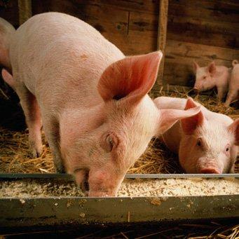 Как сделать корыто для свиней своими руками