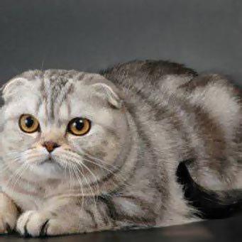 виды вислоухих кошек