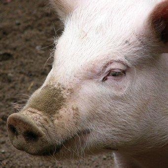 Температура у свиней: какая считается нормальной