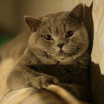 Беспородный кот для вязки