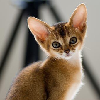 знакомство и вязка у кошек