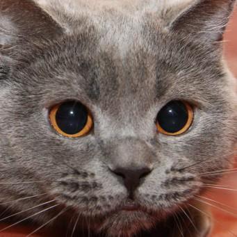 Увеличенные зрачки у кота