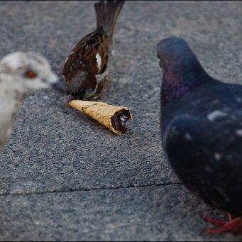 можно ли голубям чечевицу