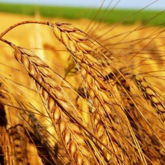 Пшеница фуражная: достоинства и недостатки корма