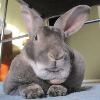 кролики великаны цена фото