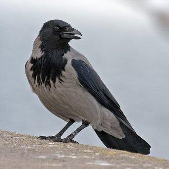 Серая ворона картинка