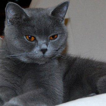 фото кошки шотландские прямоухие