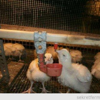 Цыплята из инкубатора уход за ними
