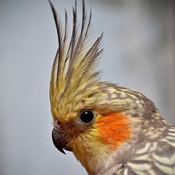 Попугаи: виды домашних попугайчиков, как выбрать и сколько 46