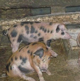 свиньи дюрок фото