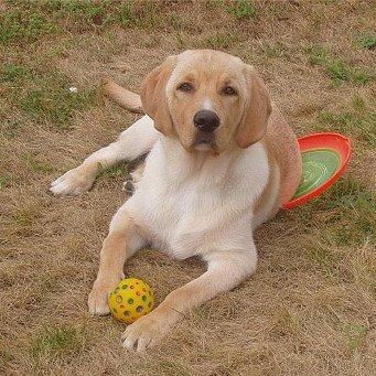 Артрит у собаки чем лечить