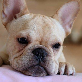 первая прививка щенку французского бульдога