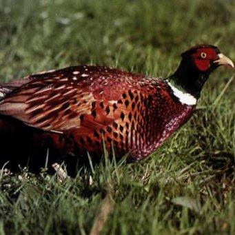 виды фазанов