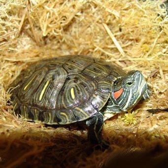 Уход за земноводными черепахой в домашних условиях