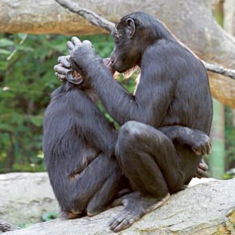 Фото брачные игры горилл