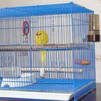 Попугаи: виды домашних попугайчиков, как выбрать и сколько 73