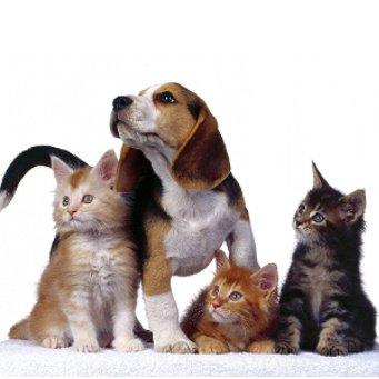 Как приучить взрослого собаку к коту