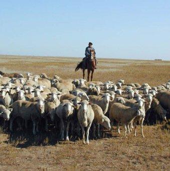Овцеводство и козоводство: что выгодней?