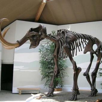 мамонтов скелеты картинки