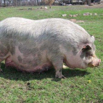 Признаки беременности у свиней