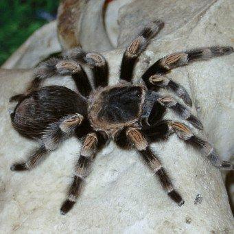 картинки тарантул паук