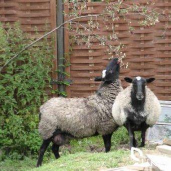 Как называется не ягнившаяся овца?