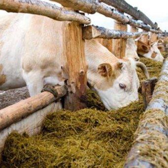 купить фуражный овес