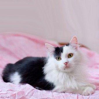 сибирская кошка окрасы