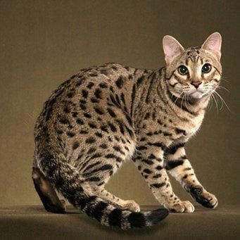Кот бенгальский британец