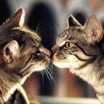 как познакомить кота и хорька