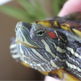 Аквариума для красноухой черепахи