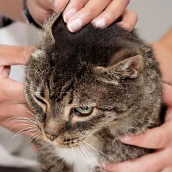 Кота ушах коричневый налет