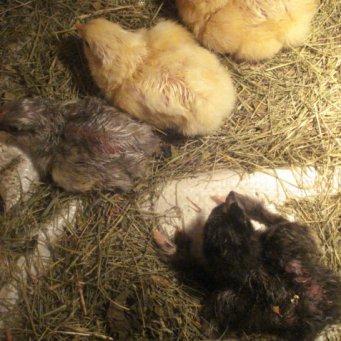 почему затяжной и не дружный вылуп цыплят толщине материала